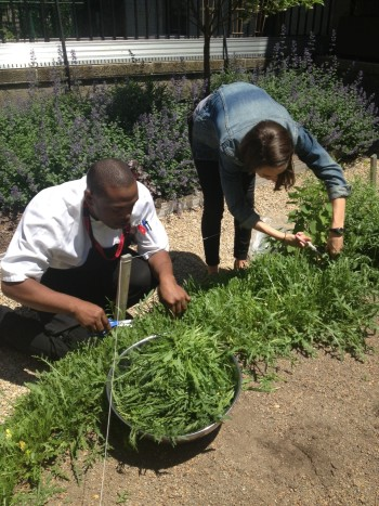 Lenox Hill Neighborhood House staff harvesting arugula from our Green Roof and Garden for dinner at our Innovative Senior Center.